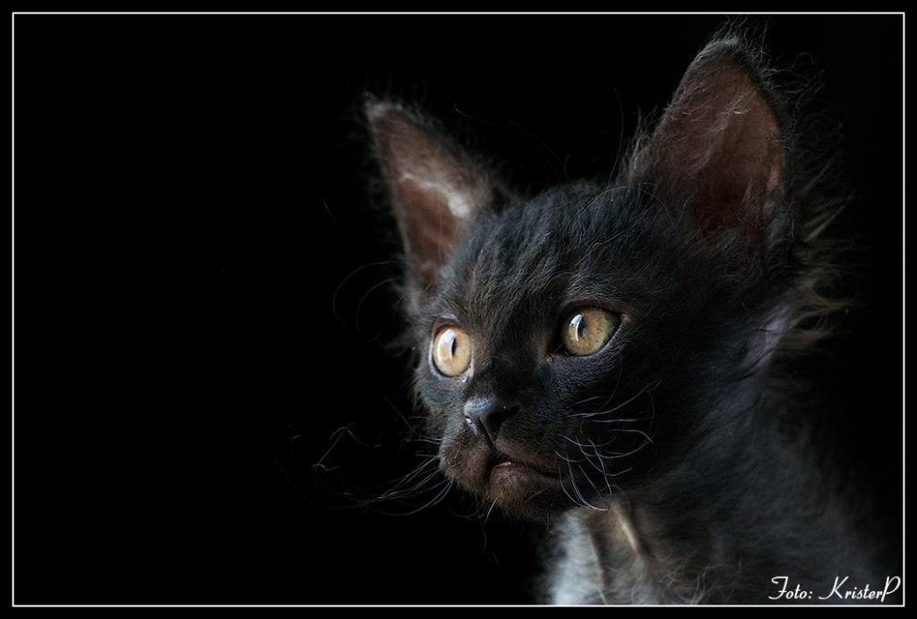 Black boy. 8 weeks old LaPerm kitten