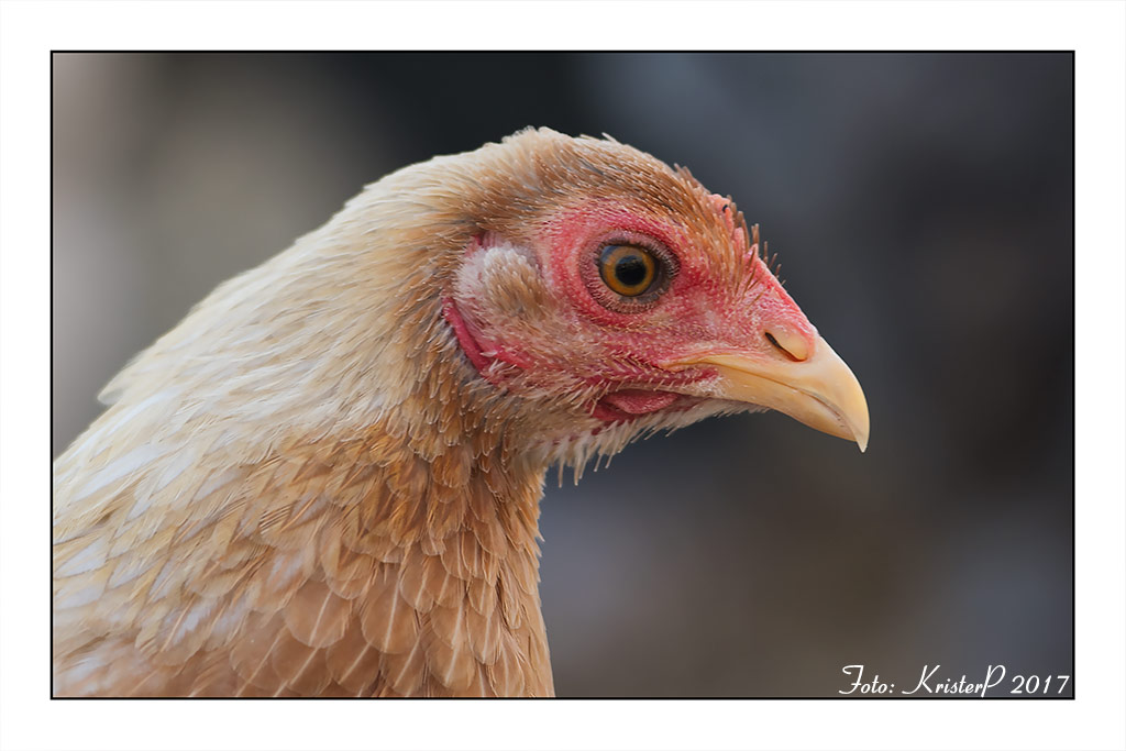 Modern Game Chicken