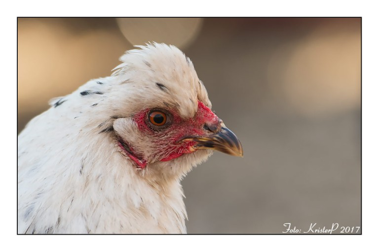 English Araucana Chicken