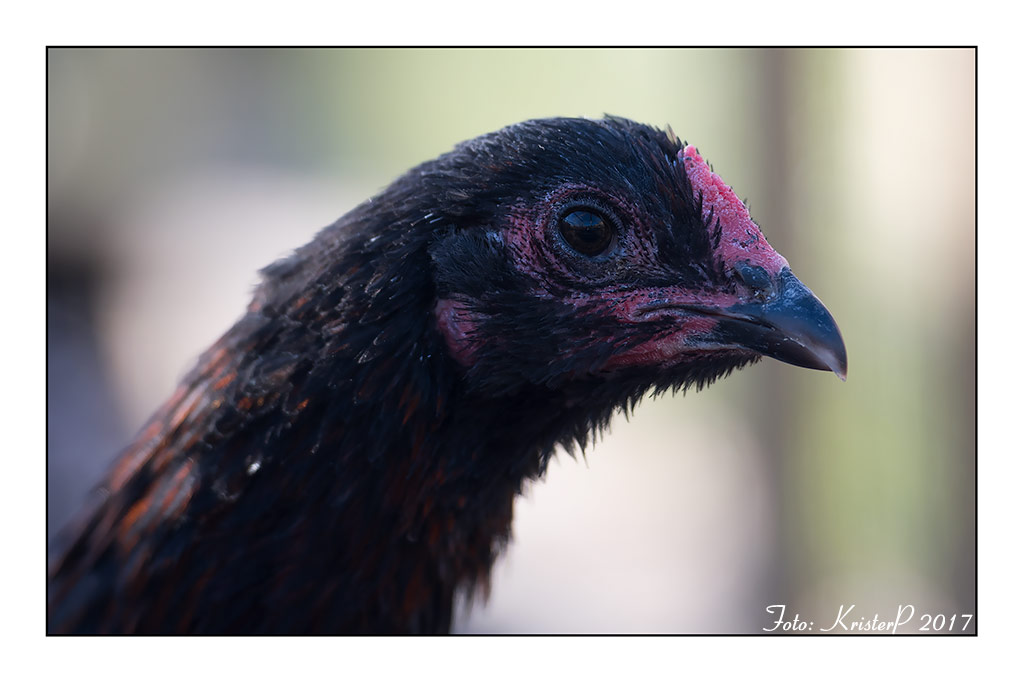 Luikse vechter chicken