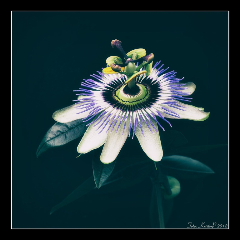 Natural Wonders - Passiflora